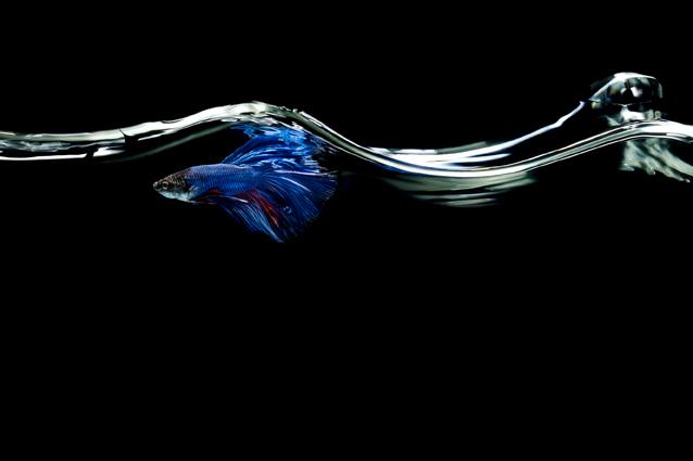 Fisch, Fotografie, Stillliefe, Wasser, Kampffisch, Blau, Christopher Shaw, Hamburg, Tiere